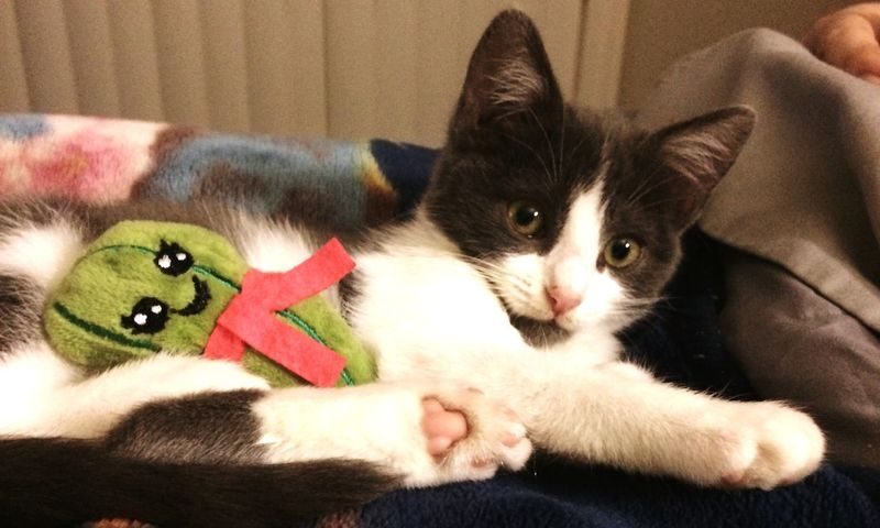 Pickles holding his pickle toy 2018 Things I Like Kitten Cute Pets Blackandwhite Domestic Pets Domestic Animals Animal Themes Mammal Animal Cat Domestic Cat One Animal Feline Vertebrate Relaxation Indoors  Portrait Home Interior Furniture Looking At Camera Bed