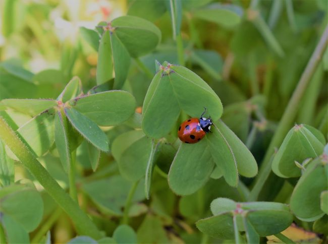 Insect Ladybirds 🐞 Clover Focus On Macro Beauty Ladybug Spring Clover Field Focus On Foreground Outdoors Beauty In Nature Green Color Animal Themes EyeEm Nature Lover EyeEm Best Shots Insects  Insect Photography Spring Is Coming