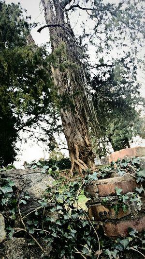 Rosehill Cemetery Trees Photowalk Vines