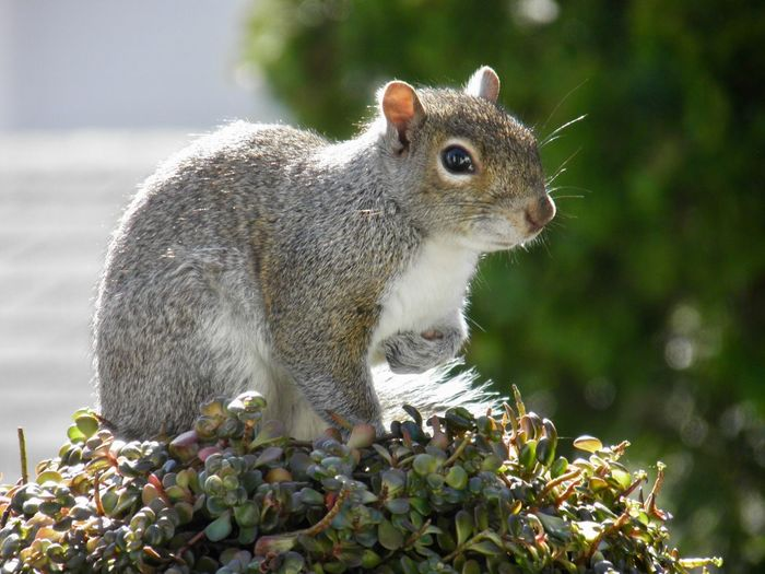 Squirrel perched atop a leafy green plant closeup animal themes outdoors EyeEm nature lover focus on the foreground My Best Photo One Animal Rodent No People My Best Photo
