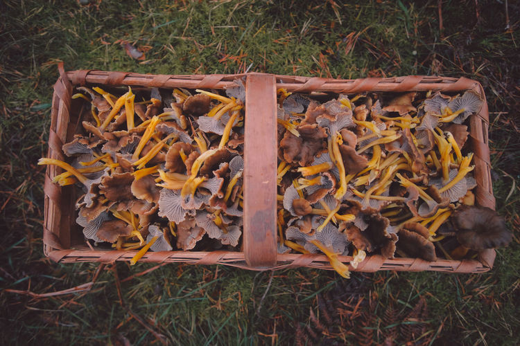 Gold of the forest Autumn Colors Gold Mushrooms Nature Sweden Autumn🍁🍁🍁 Chanterelle Fall Food Forest Mushroom Organic