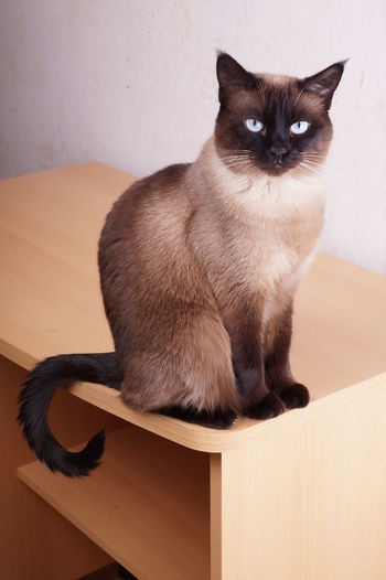 Portrait of siamese cat sitting on table