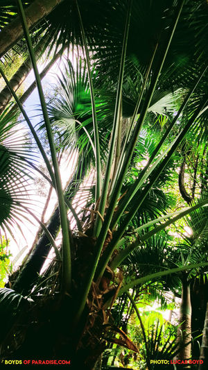 Shade of Green Bamboo - Plant Beauty In Nature Close-up Day Forest Green Color Growth Land Leaf Low Angle View Nature No People Outdoors Palm Leaf Palm Tree Plant Plant Part Sunlight Tranquility Tree Tropical Climate