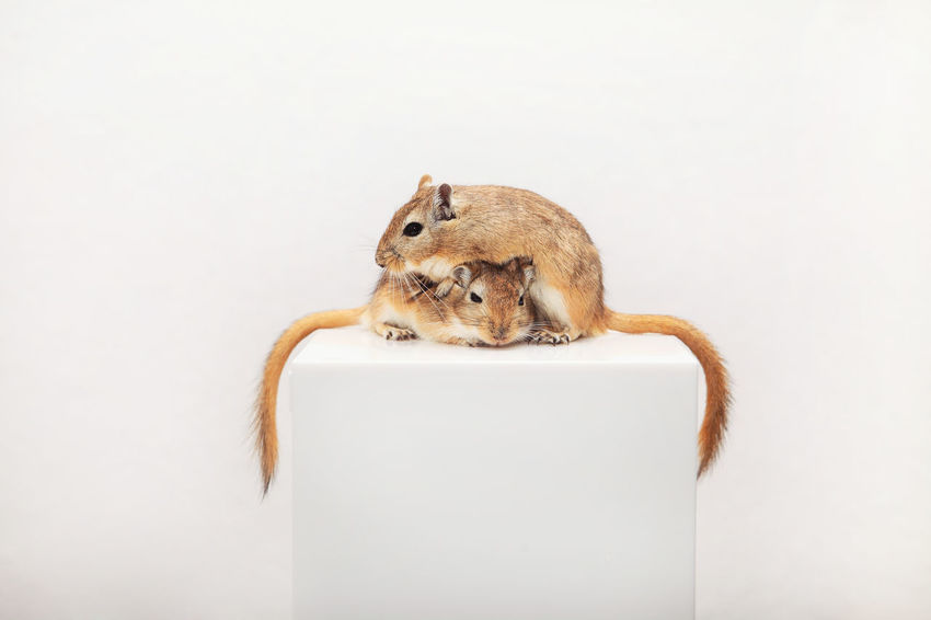 Father & Son - two Gerbils Animal Animal Photography Animal Themes Cuddle Cuddlebuddy Cute Cute Pets Gerbil Gerbils Indoors  Mammal Maus Mouse Pet Photography  Pets Portrait Rennmaus Rennmäuse Rodent SnuggleBuddies Studio Shot White Background Wüstenrennmaus Wüstenrennmäuse Zoology First Eyeem Photo