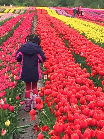 Tulip Festival Flowering Plant Plant Growth Flower Real People Freshness Agriculture Rural Scene Beauty In Nature Red One Person Field Landscape Tulip Day Nature Farm Land A New Beginning