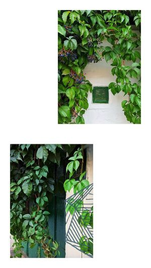 // Stories // Green Door White Wall Dont Judge Me♥ Dont Judge Me  Berries Green Leaf Green Leaves Life In Motion Social Networking Social Media Lifestyle Flowers,Plants & Garden Plants 🌱 Collage Instaphoto Stories from the City Content Plant Growth Green Color Nature Transfer Print Leaf Plant Part No People Auto Post Production Filter Day Tree Outdoors Architecture