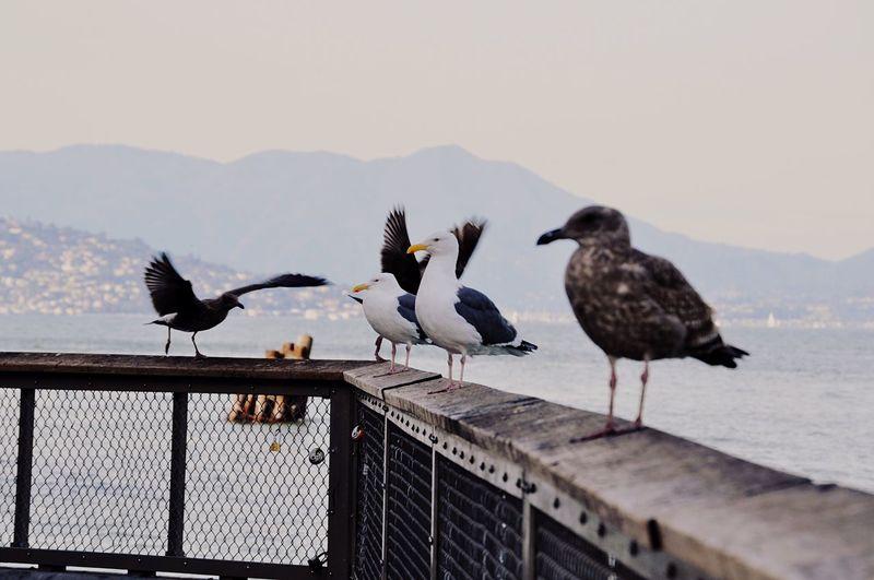 Travel California San Francisco Bird Animal Themes Vertebrate Animals In The Wild Animal Animal Wildlife Group Of Animals Seagull Railing