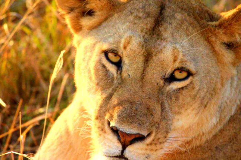 Safari Africa African Beauty Lion Relaxing