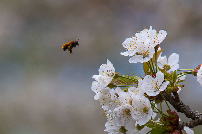Animal Animal Themes Animal Wildlife Animals In The Wild Beauty In Nature Bee Cherry Blossom Close-up Flower Flower Head Flowering Plant Focus On Foreground Fragility Freshness Growth Insect Invertebrate No People One Animal Petal Plant Pollen Pollination Springtime Vulnerability