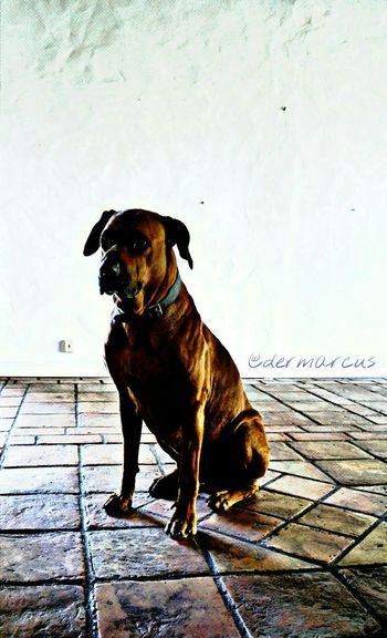 Ridgeback Ridgebacks Dogs Cute Bestfriend Petsandanimals Closeup Pets Dog