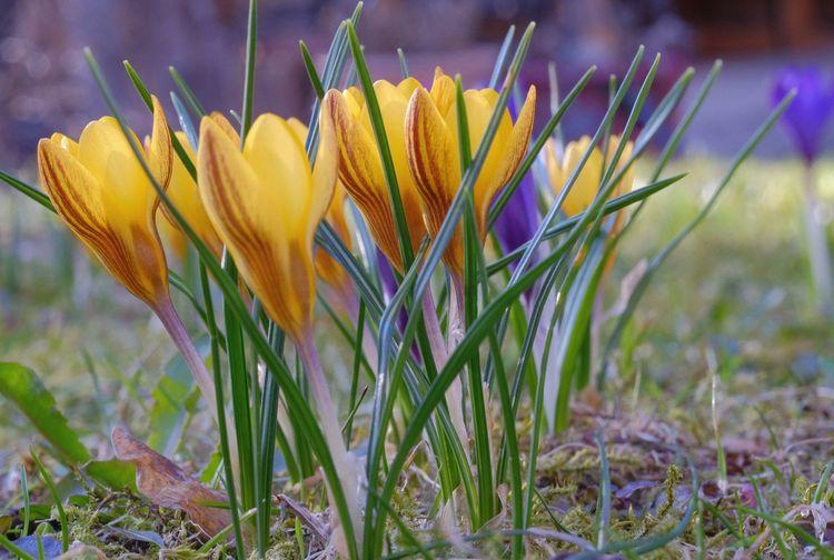 Plant Close-up Beauty In Nature Flower Head Springtime Yellow Selective Focus Bouquet Crocus In My Garden Analog Lens Petal
