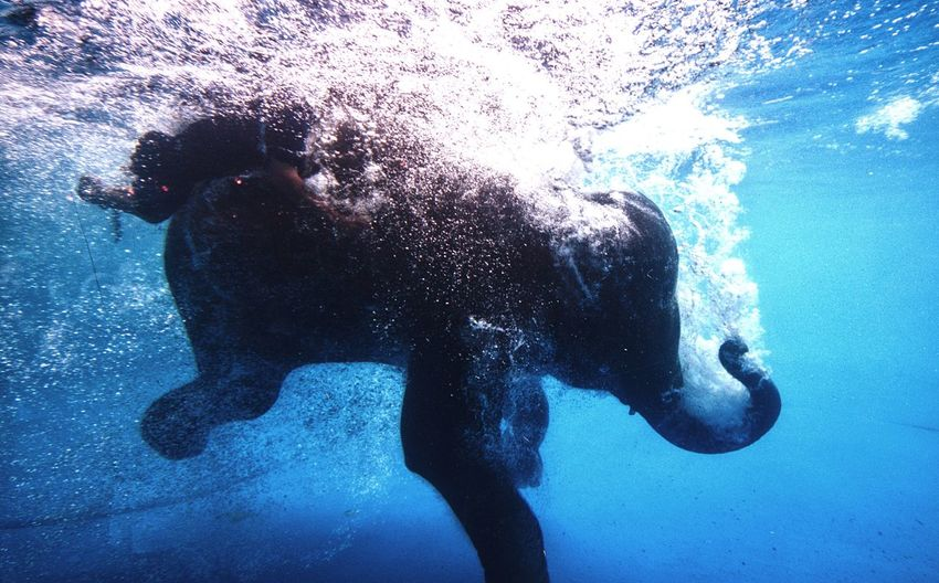 Animal Themes Underwater Swimming Elephant Water Elephant Swimming