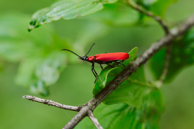 Red insect on green background Insect Invertebrate One Animal Animal Wildlife Red Animals In The Wild Animal Animal Themes Close-up Focus On Foreground Green Color Beetle Outdoors Nature Macro Photography Macro_collection EyeEm Nature Lover