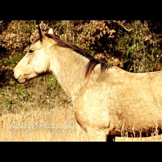 #horse Buckskin Field Dapples Grass