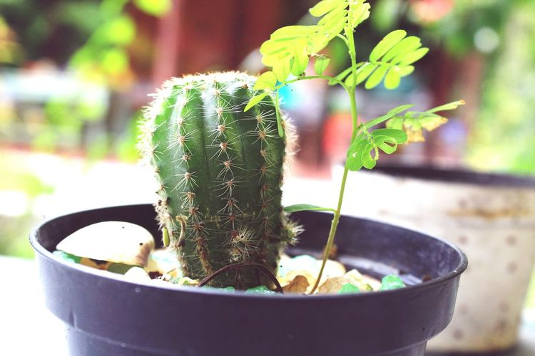 Cacto CanonT5 Natureza 🐦🌳 Cactus Focus On Foreground Nature Close-up Plant Fotography 📷❤️☀️ Growth Potted Plant Green Color No People Day Outdoors Fragility Freshness