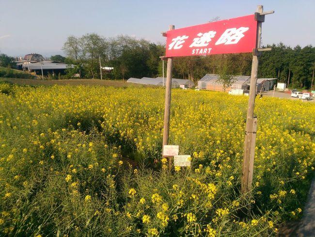 Day Flower Japan No People Outdoors Sky 花 菜の花 迷路