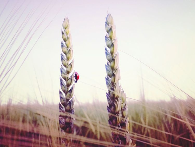 Growth Like Fantasy Nature Ladybug Lady Bug Field Cereal Plant Agriculture Sky Grass Backgrounds Pastel Colored Wheat Plant Rural Scene No People Eyeemphotography Landscape EyeEm Best Shots - Nature Selective Focus Exceptional Photographs EyeEm Best Shots Eye Em Nature Lover EyeEm Nature Lover Focus On Foreground Breathing Space The Week On EyeEm EyeEmNewHere