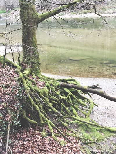 Mossy Tree Where Are The Faries.... Riverbank Rainy Day