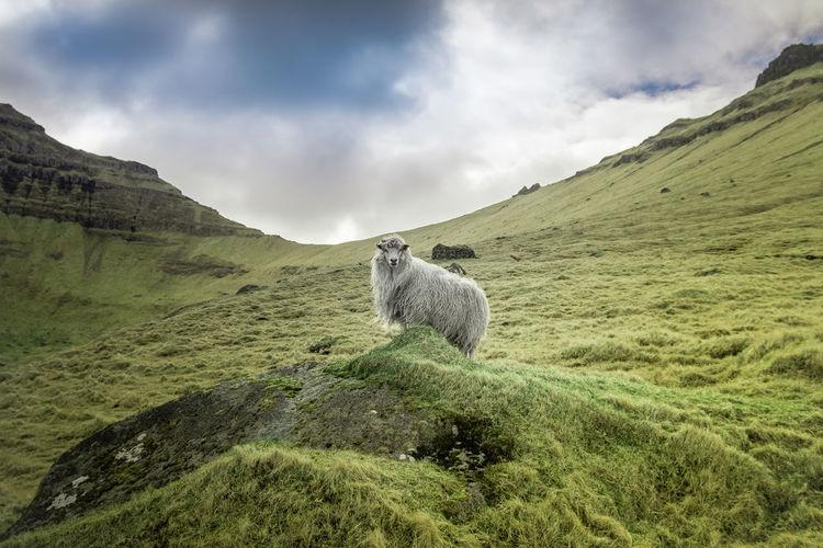 Archipelago Atlantic Atlantic Ocean Grass Hiking Nature Road Abandoned Absence Adventure Cliff Faroe Faroe Islands Fauna Fjord Flora Ocean Sea Sheep Waterfall The Great Outdoors - 2018 EyeEm Awards