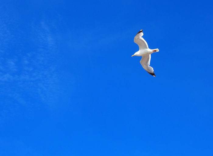 a beautiful single white seagull soaring in a bright blue sunlit sky Animal Animal Themes Animal Wildlife Animals In The Wild Bird Blue Clear Sky Copy Space Day Flying Gull Low Angle View Mid-air Motion Nature No People One Animal Outdoors Seagull Sky Spread Wings