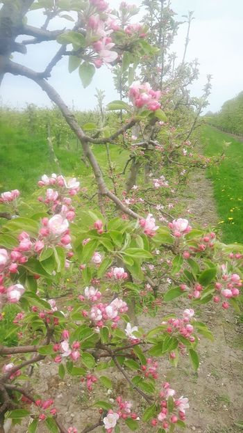 Flower Pink Color Growth Nature Day No People Outdoors Tree Plant Beauty In Nature Freshness Fragility Sky Altes Land Stade obstbäume Plantage plantation Altes Land