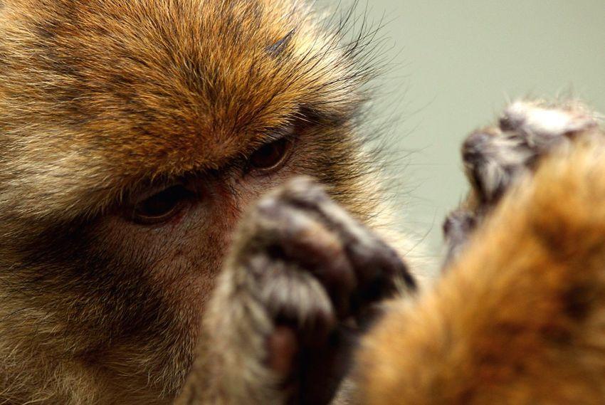Maximum Closeness Close-up Closeup Animal Wildlife Wild Animal Monkey Closeupshot EOS 6D Canon RAW available Animal Animals