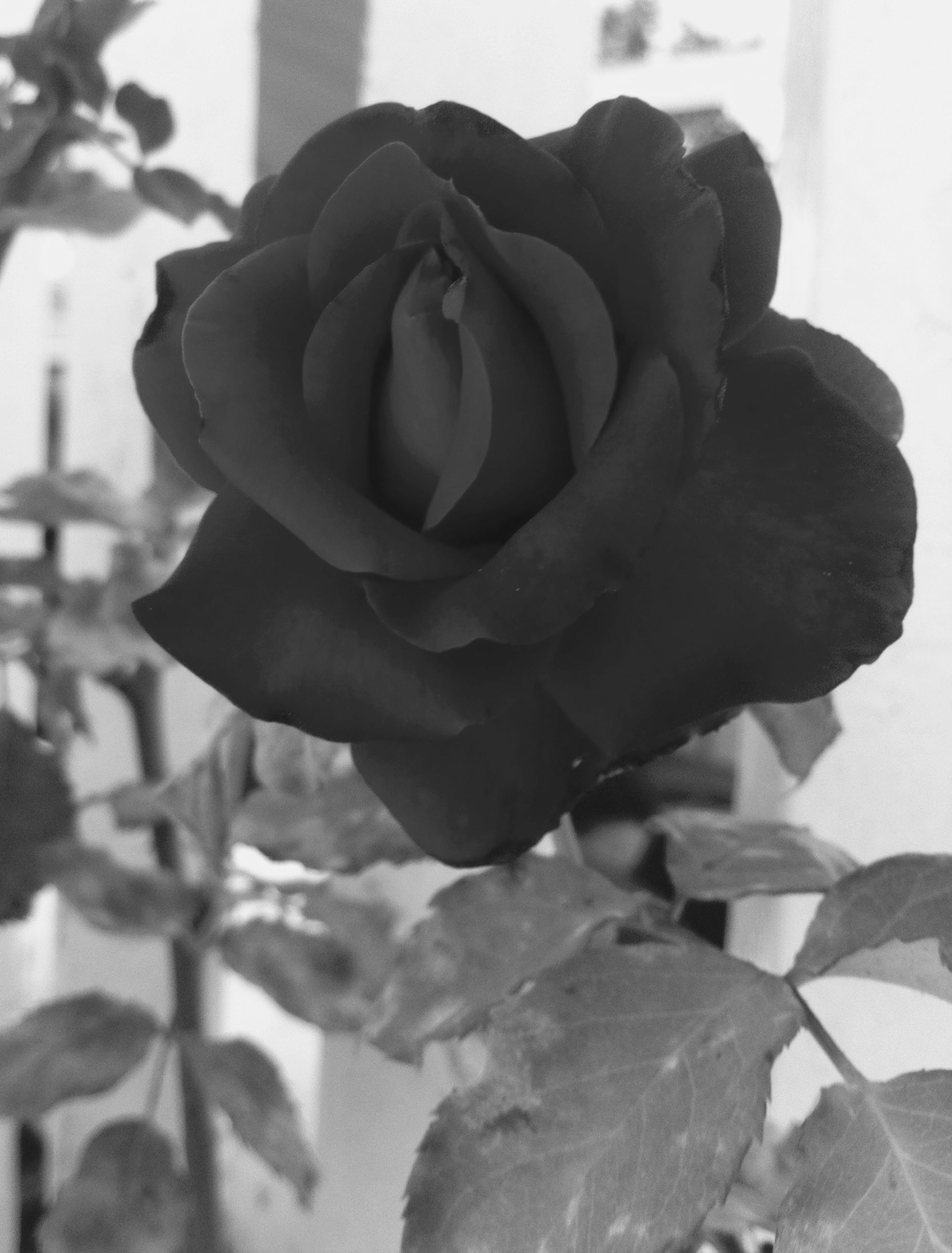 flower, rose - flower, petal, close-up, flower head, freshness, fragility, growth, focus on foreground, single flower, beauty in nature, plant, nature, rose, blooming, single rose, no people, leaf, day, in bloom