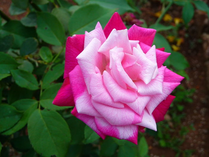 The Pink Rose Pink Color Flower Petal Nature Day No People Flower Head Beauty In Nature Freshness Fragility Outdoors Close-up
