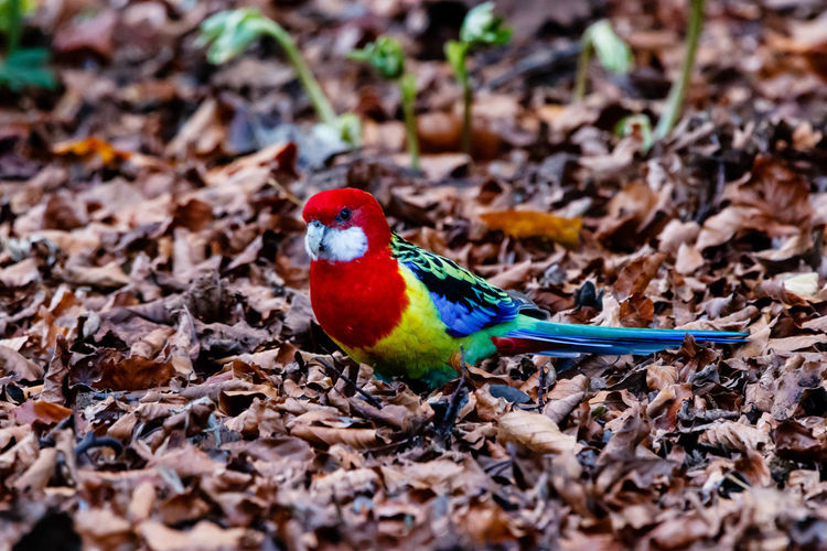 """Eastern rosella are easily identified by their bright red heads, with white cheek patches. The red extends down onto the chest and forms a """"bib"""", giving way to a yellow belly. The upper back is yellow to green, with black patches in the centre of each feather. The rump is bright green, often observed when they are flying away. The upperwings are dark blue with bright blue shoulders. They have long tails, almost equal in length to the rest of their body – dark green in the centre, becoming light blue toward the outside. Males are typically brighter in colour than females. http://nzbirdsonline.org.nz/species/eastern-rosella Bird Animal Wildlife Nature Multi Colored Close-up Red Rosella EyeEm Nature Lover"""