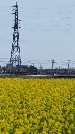 鉄塔となばな。 Steel TowerLC Flowers Takumar Photowalk #oldlens