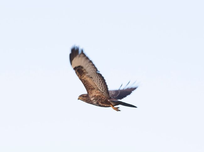 EyeEm Selects One Animal Bird Flying Animals In The Wild Spread Wings Animal Wildlife Clear Sky Nature Bird Of Prey Mid-air Full Length Close-up Flying High Flying Bird Fly Free No People Animal Themes Feathers Buzzard  Buzzard In Flight Outdoors Sky Bird In Flight Day