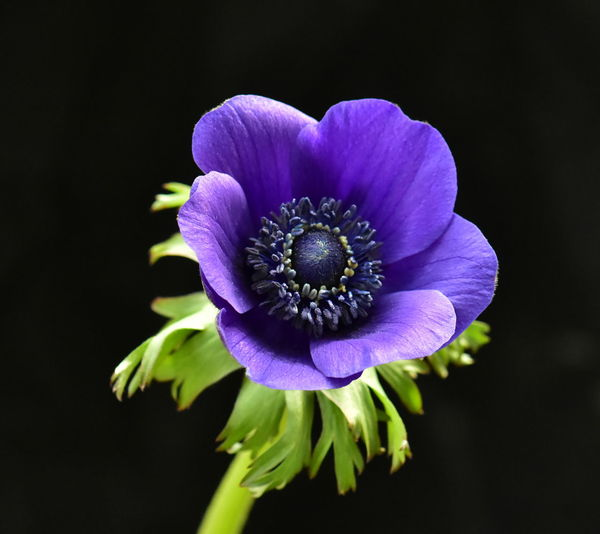 Flowering Plant Flower Fragility Petal Vulnerability  Freshness Plant Flower Head Beauty In Nature Inflorescence Close-up Growth Studio Shot Purple Nature Pollen Black Background No People Focus On Foreground Anemone Flower