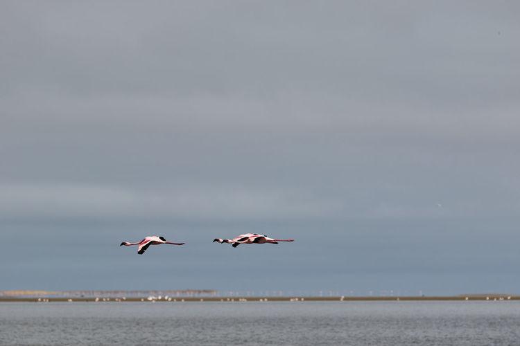 Two flamingos in flight at walvis bay