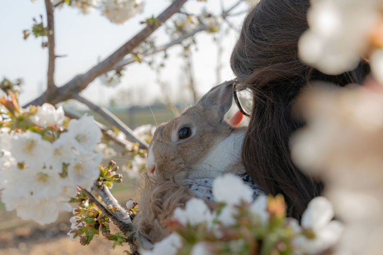 Portrait of a rabbit in the lap of his owner.