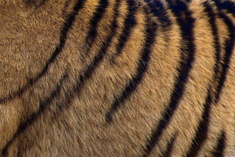 Close-up of a tiger's fur. Animal Markings Backgrounds Beauty In Nature Close-up Fur Nature Stripes Pattern Tiger Tiger Stripe