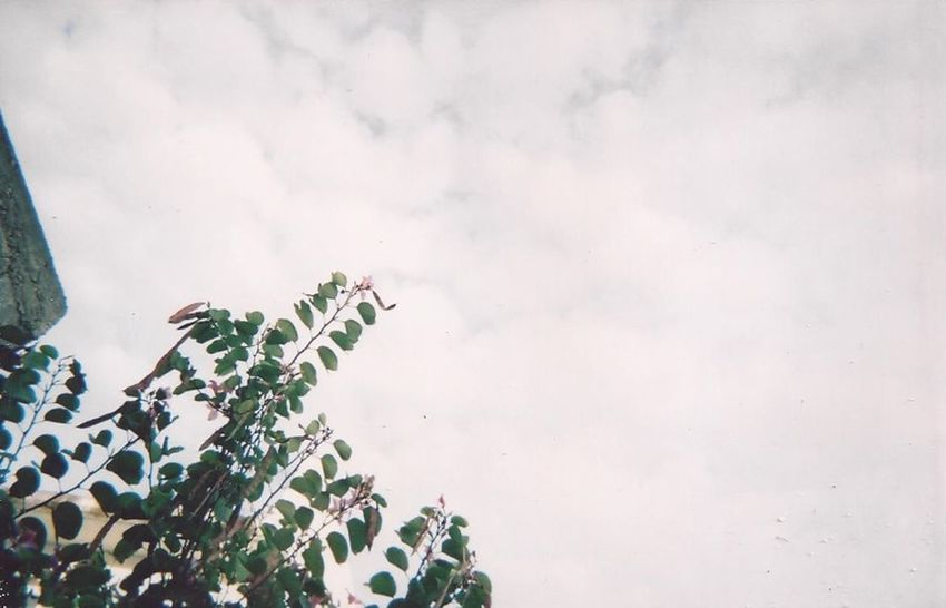 35mm 35mm Film Analogue Photography Beauty In Nature Cloud - Sky Day Film Is Not Dead Film Photography Fragility Green Color Growth I Believe In Film Low Angle View Nature No People Plant Shoot Film Sky Tree