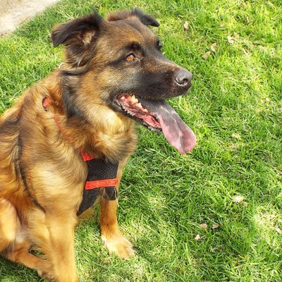 Dog Tongue Dog Grass Pets Domestic Animals One Animal Mammal Day Animal Themes German Shepherd Outdoors No People Nature Protruding Close-up Booger