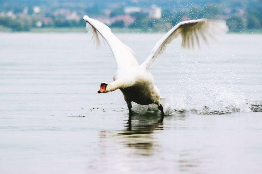 Swan Flying Swan Big Birds Bodensee Schwanensee