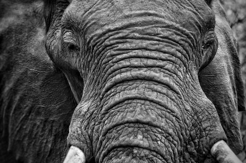Close-up of african elephant at kruger national park