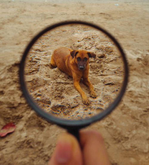 Cropped Hand Holding Magnifying Glass Against Dog