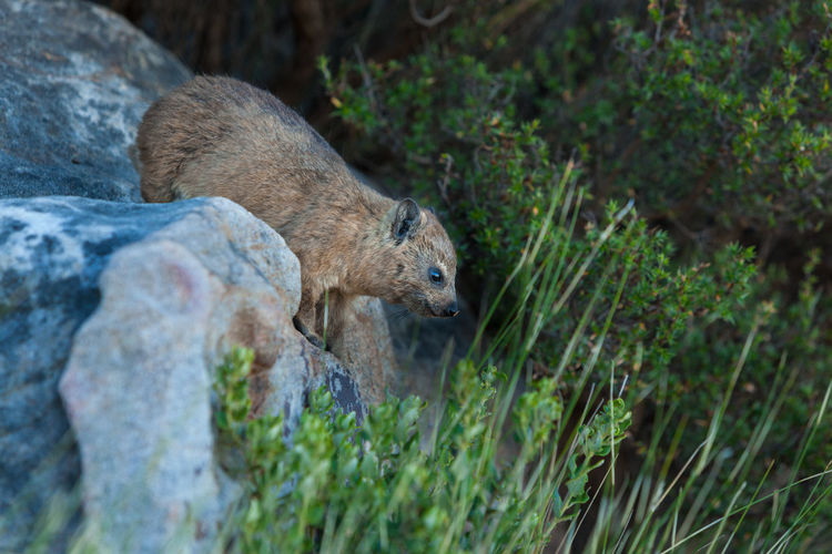 Animal Wildlife Animals In The Wild Dassie Day Land Mammal Nature No People One Animal Outdoors Plant Rock Rock - Object Selective Focus Side View Side View Mirror Vertebrate