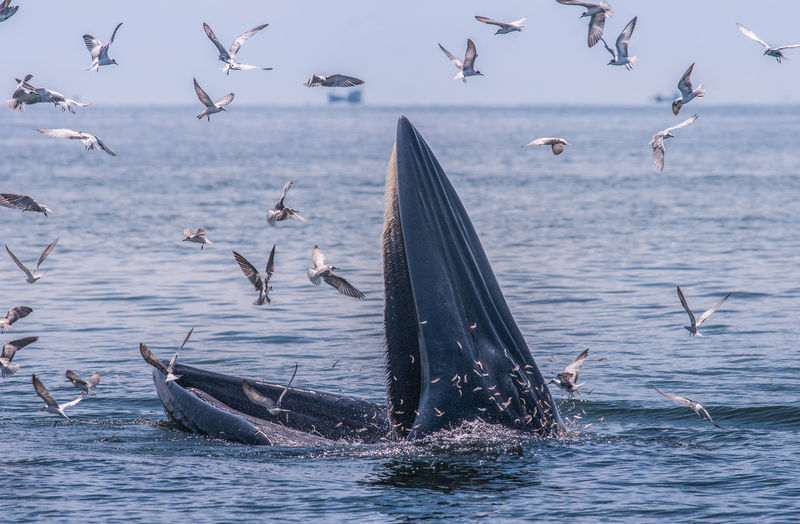 Seagulls flying by whale swimming in sea