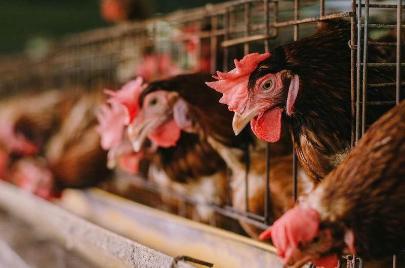 Livestock Bird Chicken - Bird Domestic Animals Animal Themes Domestic Vertebrate Animal Pets Mammal Chicken Group Of Animals Agriculture Selective Focus Hen Cage Rooster Farm Close-up Male Animal Beak Animal Head