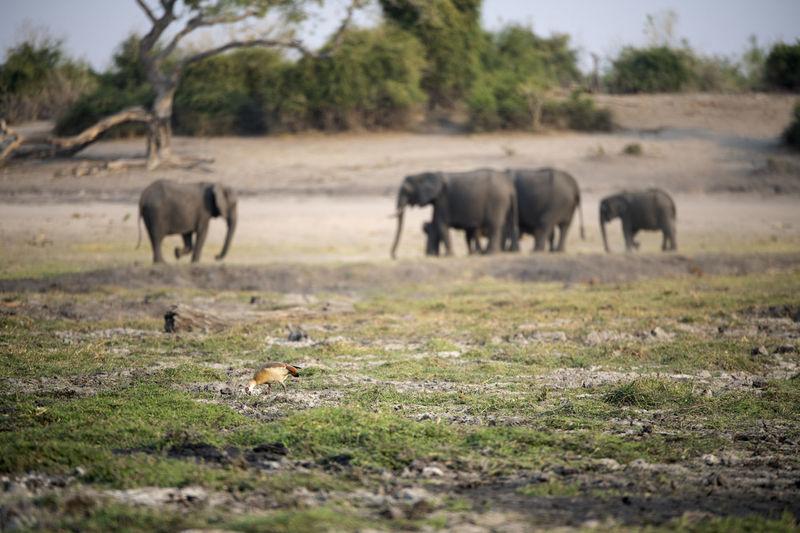 Herd of elephants in a field