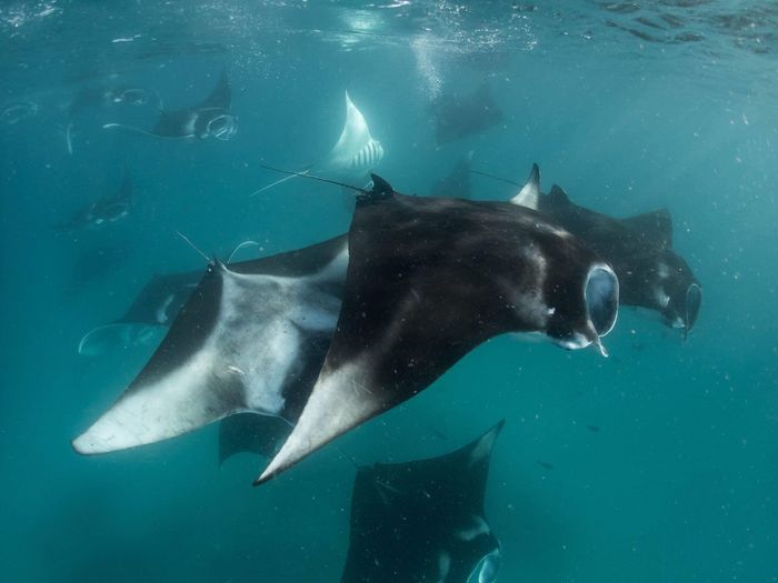 Manta ray feeding on plankton Tropical Manta Ray Animal Coral Plankton Underwater Sea Animal Themes Water Animal Wildlife Animals In The Wild Animal UnderSea Vertebrate Nature Sea Life Marine Fish Swimming