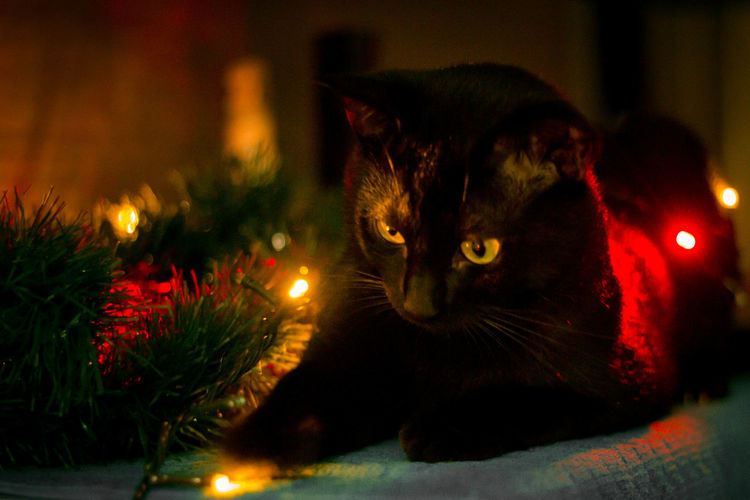 Cat looking at illuminated christmas tree