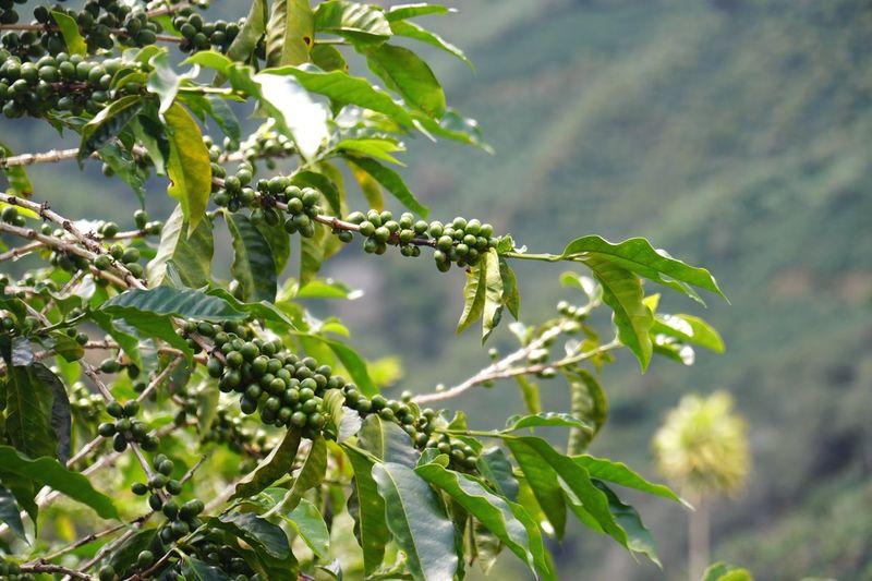 Caturra coffee plantation in Santa Cruz de Léon Cortes, Costa Rica Costa Rica Coffee Costa Rica Caturra Coffee Fruit Coffee Farm Coffee Plant Growth Plant Part Leaf Tree Green Color Fruit Food And Drink