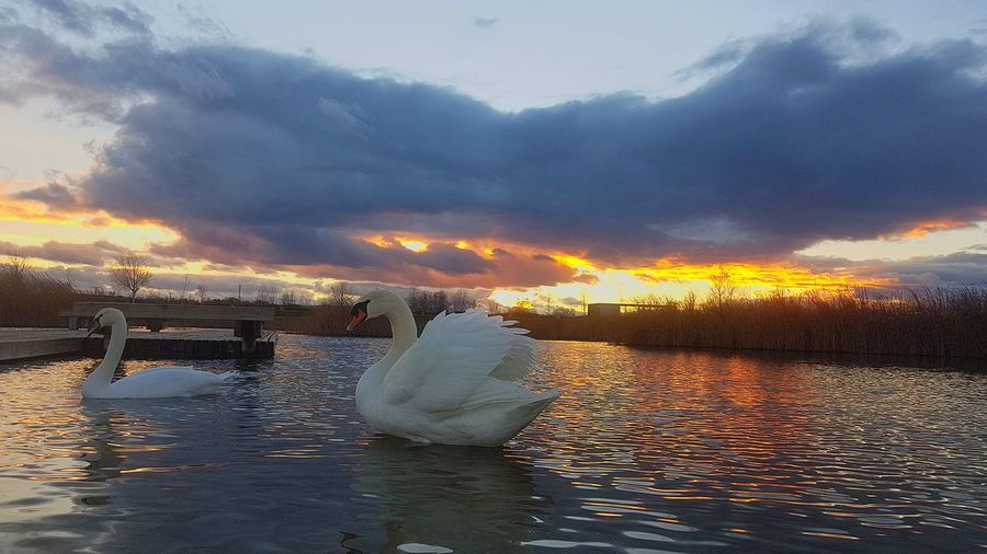 sweet swan