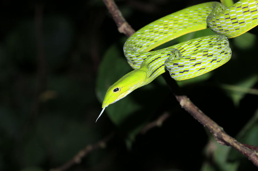 Green snake5 Tree Snake Snakes Green Color Green Reptiles Reptile Dark Nightphotography Night Tree Multi Colored Close-up