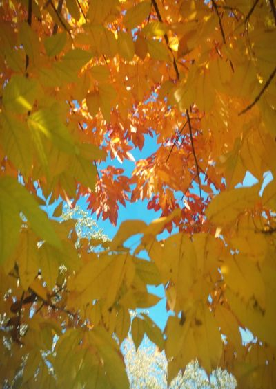 Looking up through autumn tree No People Yellow Blue Orange Multicolored Red Buffalo, NY EyeEmNewHere Colorful Blue And Orange Green Blue Sky Looking Up Multi Colored Leaf Autumn Yellow Backgrounds Change Gold Colored Abstract Full Frame Tree Autumn Collection Leaves Fall